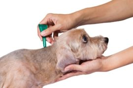 Dr Janey's Pet Health Summer Series – Episode 19: Using chemicals to eradicate fleas?