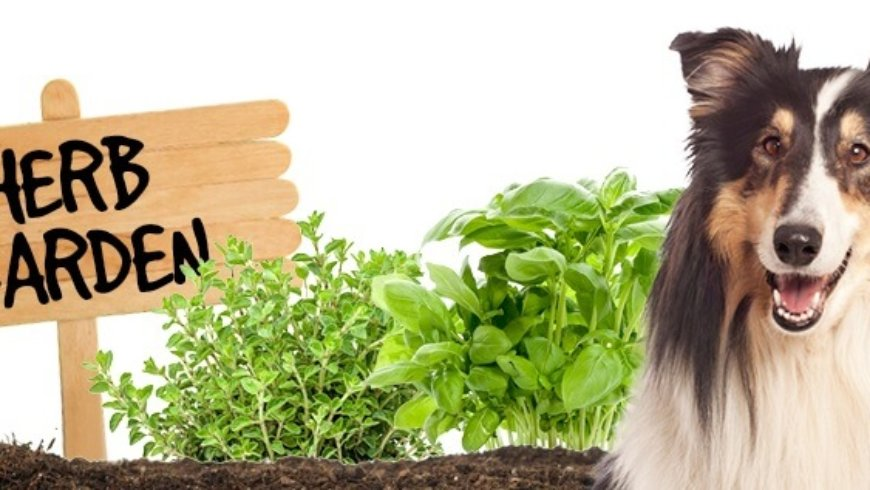 Listen to Paul on SmileFM discuss safe & beneficial herbs for your canine companion